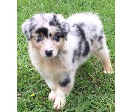 nb,.vcxsd Cute Australian Shepherd puppies Ready is a Australian Shepherd For Sale in Holmesville NE