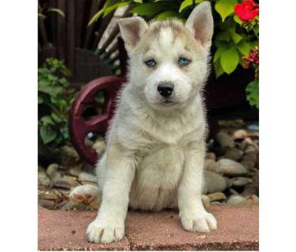 ZZXCG Male / Female Siberian Husky is a Female Siberian Husky For Sale in Seattle WA