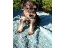 qarwshdedhfhrfhfqqagwsdhfhfwshd Cute Male and Female Miniature schnauzer Puppies