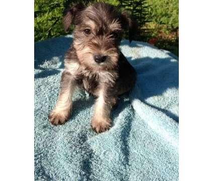 qarwshdedhfhrfhfqqagwsdhfhfwshd Cute Male and Female Miniature schnauzer Puppies is a Female Miniature Schnauzer For Sale in Dallas TX