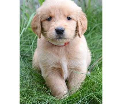 qahshqagwshdhqahshdhfwshdhqahsd Super Adorable Golden Retriever Puppies Ready No is a Female Golden Retriever For Sale in Plano TX