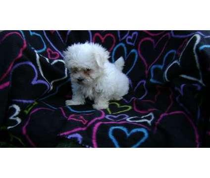 vvvcgfdsg Childlike Teacup Maltese Puppies Ready for sale is a Maltese Puppy For Sale in Cedar Falls IA