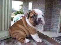 LABEUD English Bulldog Puppies
