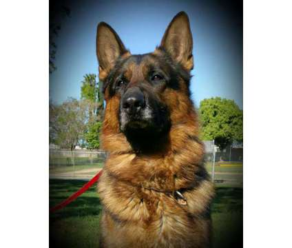 """German Shepherd Dogs """"From our family to yours"""" is a Female German Shepherd For Sale in Galt CA"""