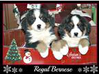 Bernese Mountain Dog Puppy For Sale in Unknown, Unknown, USA