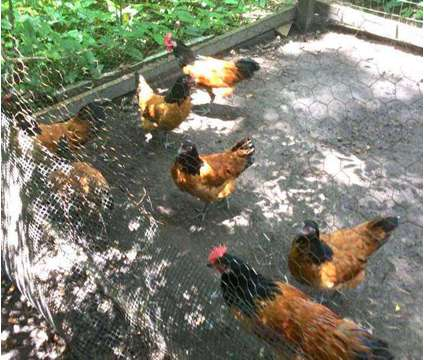 pavlovskaya, Deathlayer, and more chicks and eggs is a Blue Female Baby in Brooksville FL