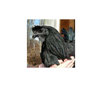 Pure Ayam Cemani chicks GFF/Banko line and cemani hatching eggs is a Baby in Brooksville FL