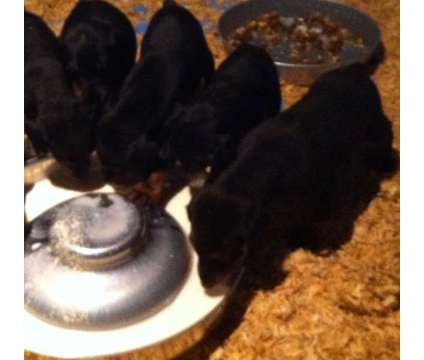 Doberman Pinscher Puppies is a Male Doberman Pinscher For Sale in San Jose CA