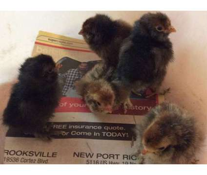 Pavlovskaya chicks and hatching eggs, Extremely rare is a Baby in Brooksville FL