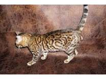 Bengal Kittens Silver and Charcoals TICA registered