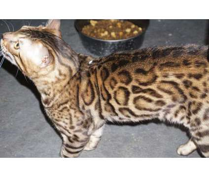 Brown Rosetted male kitten available is a Brown Female Bengal Kitten For Sale in Chicago IL