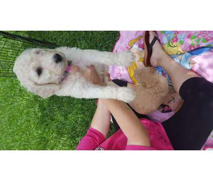 Goldendoodle Puppies is a Male Goldendoodle Puppy For Sale in College Station TX