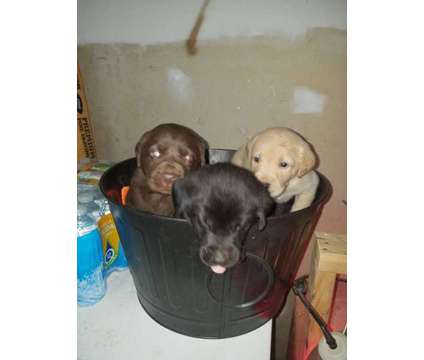 Black Lab Puppies is a Yellow Female Labrador Retriever Puppy For Sale in Mount Vernon KY