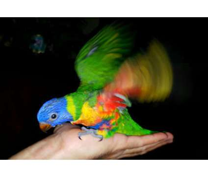 Lory-Swainsons is a Lory Baby For Sale in Miami FL