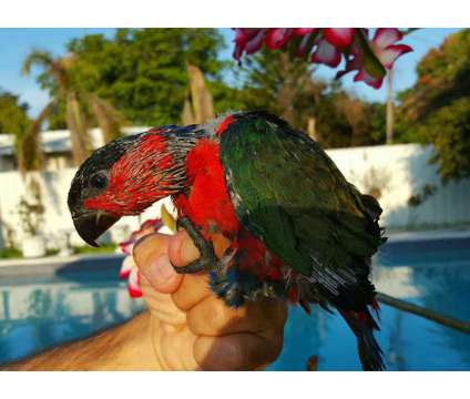 Lory -Black Capped is a Black Lory Baby For Sale in Miami FL