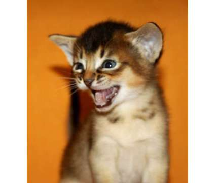 Abyssinian kittens, purebreed, CFA reg. BLUE and RUDY is a Blue Abyssinian Kitten in Brooklyn NY
