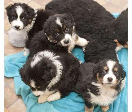 Australian Shepherd Purebred Pups is a Male Australian Shepherd Puppy in Houston TX
