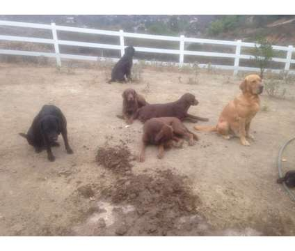 Labrador Puppies High Drive Bloodline Field & English Pups Born May 2018 is a Black Female Labrador Retriever Puppy For Sale in Jamul CA