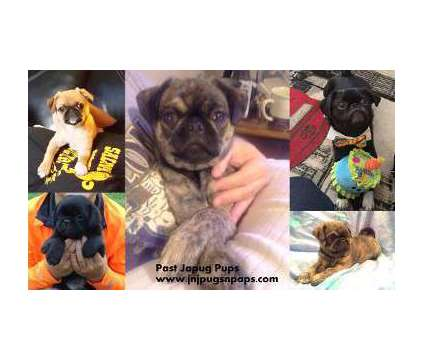 "ACHC Japug ""pocket pugs"" Health Guaranteed is a Male Pug Puppy For Sale in Wichita KS"