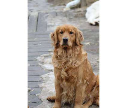 AKC Golden Retriever pups is a Male Golden Retriever Puppy For Sale in Erie PA