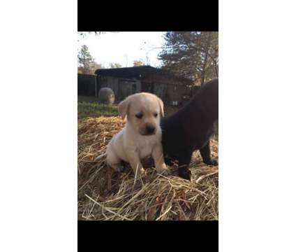 Lab puppies is a Female Labrador Retriever For Sale in Albemarle NC