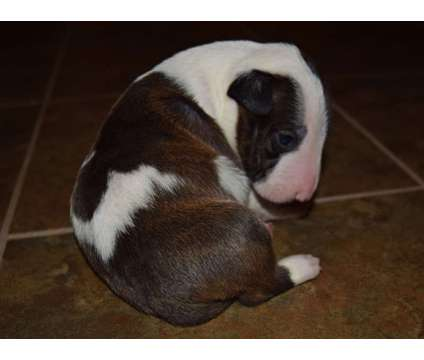 Miniature bull terrier puppies is a Male Bull Terrier For Sale in Liberty NC
