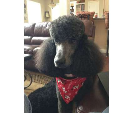 Standard Poodle Stud is a Male Standard Poodle For Sale in Corinth TX