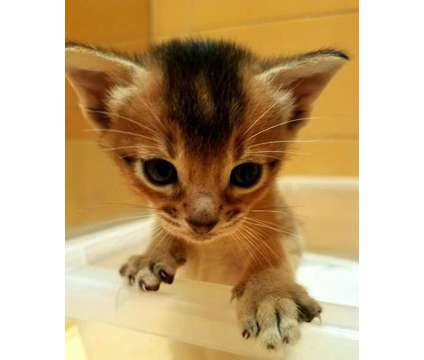 Abyssinian kittens from breeder, CFA reg. Blue and Rudy is a Blue Abyssinian Kitten in Brooklyn NY