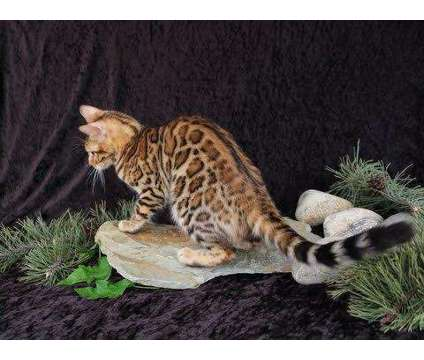 TICA - Bengal Kittens - Due anyday is a Male Bengal Kitten For Sale in Belfair WA