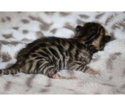 TICA - Bengal Kittens - DISCOUNTS TO DISABLED AND MILITARY is a Male Bengal Kitten For Sale in Seattle WA