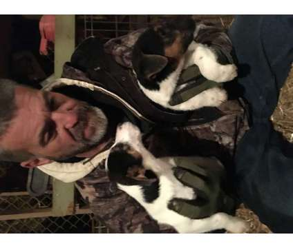 Jack Russell Terrier puppies is a Male Jack Russell Terrier Puppy For Sale in Albemarle NC
