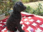 Labradoodle Puppy For Sale in Jefferson, GA, USA
