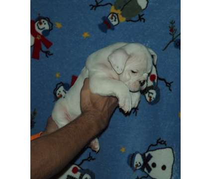 AKC English Bulldog puppies is a Female Bulldog Puppy For Sale in Wylie TX