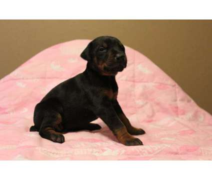 AKC Doberman Puppies is a Male Doberman Pinscher Puppy For Sale in Chester AR
