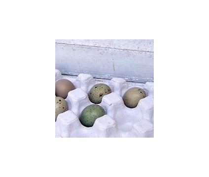 Button quail chicks 5 for $15 and hatching eggs, rare colors is a Baby in Brooksville FL
