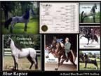 Blue Roan Tennessee Walking Horse Foals