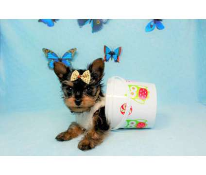 Teacup and Toy Yorkie Puppies is a Female Yorkshire Terrier Puppy For Sale in Oak Park CA