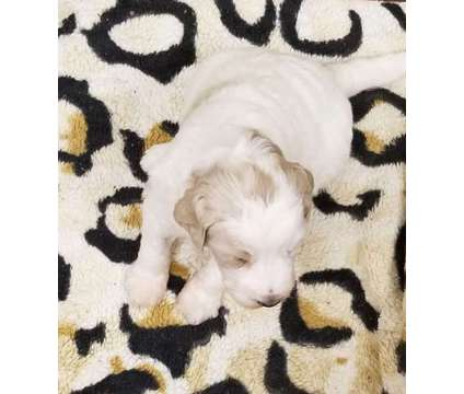 Yorkie Boy is a Male Yorkshire Terrier Puppy For Sale in Elverta CA