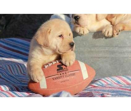 yzxynx Happy Labrador Retriever puppies for sale is a Female, Male Labrador Retriever For Sale in East Hartford CT