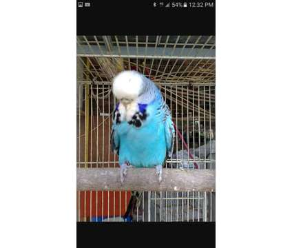 english budgies is a Budgerigar For Sale in Miami FL