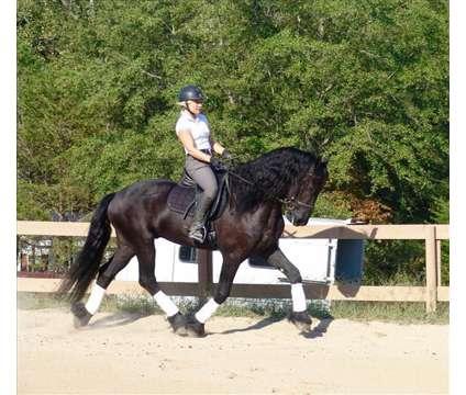 OPPPOFKLDFKLDF Talented Friesian Horse For Sale is a Male Friesian in Lodi TX