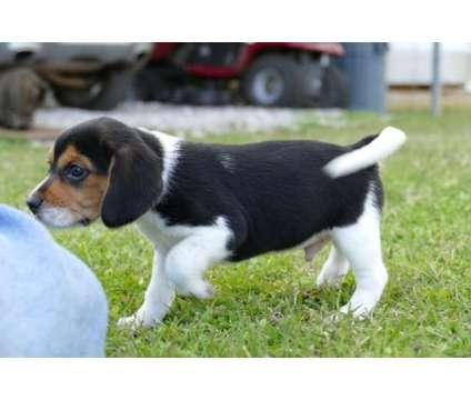 AKC Male Beagle Puppy is a Male Beagle Puppy For Sale in Alexandria LA