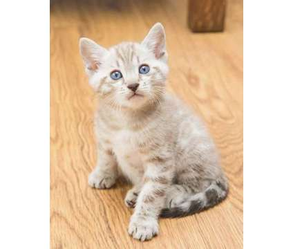 TICA registered Male and Female Bengal Kittens available is a Female Bengal Young For Sale in Olympia WA