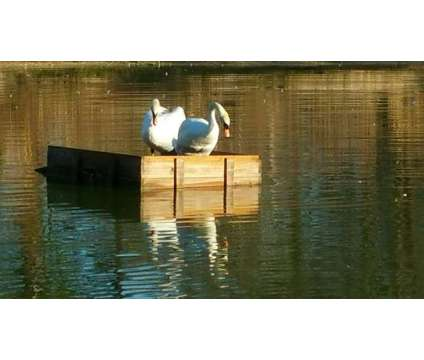 Swans For Sale is a Swan For Sale in Lake Butler FL