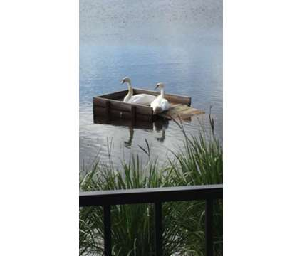 Breeder White Mute Swans for Sale is a White For Sale in Lake Butler FL
