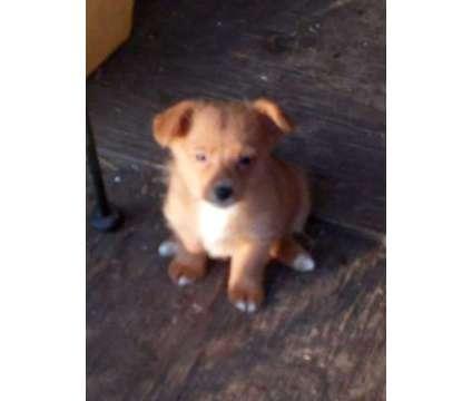 Corgi doodle Corgi teacup poodle is a Corgi, Poodle Puppy For Sale in Dallas TX