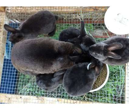 Mini Rex bunnies is a Baby For Sale in Denver CO