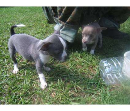 "CKC Blue & Blue fawn Tiny Chihuahua puppies available, Born 3-11-2017, ""H"" litte is a Blue Female Chihuahua For Sale in Lexington SC"