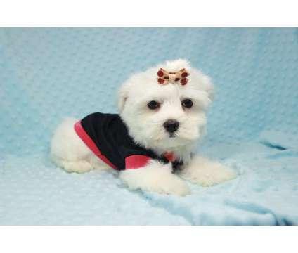 Teacup & Toy Maltese Puppies In Las Vegas is a Maltese Puppy For Sale in Las Vegas NV