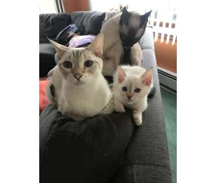 Siamese Kittens is a Male Siamese Kitten For Sale in Pottstown PA